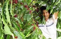 Xử lý hiện tượng vàng lá cà phê Lâm Đồng