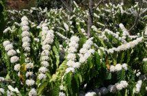 Bón phân cho cây cà phê mùa khô